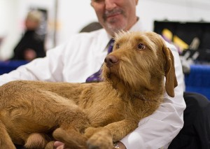 national dog show6-vizsla