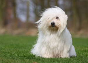 national dog show7-coton